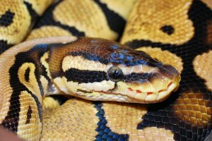 how long does it take a ball python to digest