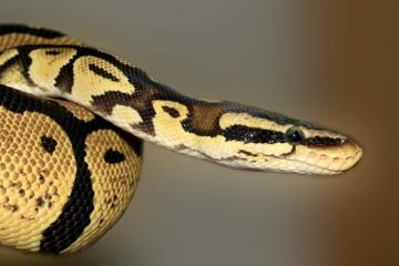 how long does it take for a ball python to grow
